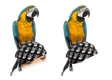 在白色隔绝的青和金子金刚鹦鹉 免版税图库摄影