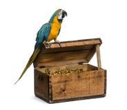 在白色隔绝的青和金子金刚鹦鹉 免版税库存照片