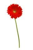 在白色隔绝的非洲雏菊 免版税库存图片