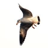 在白色隔绝的飞行海鸥 图库摄影