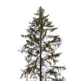 在白色隔绝的高云杉的树 图库摄影