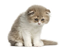 在白色隔绝的高地折叠小猫开会 免版税库存照片