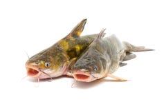 在白色隔绝的鲶鱼 库存图片