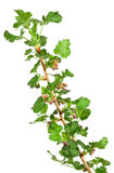 在白色隔绝的鹅莓幼木 库存照片