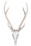 在白色隔绝的鹿头骨 免版税库存图片