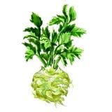 在白色隔绝的水彩芹菜 皇族释放例证
