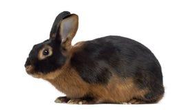 在白色隔绝的黑火兔子 免版税库存图片