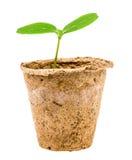 在白色隔绝的黄瓜幼木 免版税库存照片