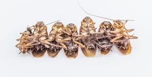 在白色隔绝的死的昆虫蟑螂臭虫 免版税图库摄影
