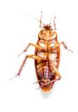 在白色隔绝的死的蟑螂垂直 海藻 库存图片