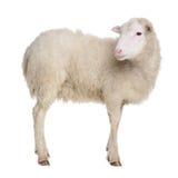 在白色隔绝的绵羊 库存图片