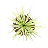 在白色隔绝的黄色丝兰植物顶视图  库存图片