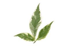 在白色隔绝的绿色叶子 讽刺画厂 免版税库存图片