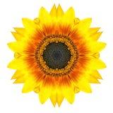 在白色隔绝的黄色同心向日葵花。坛场设计 库存图片