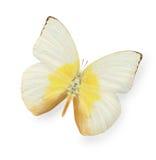 在白色隔绝的黄色和米黄蝴蝶 库存图片