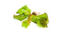 在白色隔绝的绿色橡木散叶莴苣 库存照片