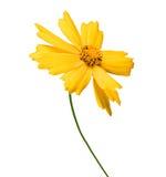 在白色隔绝的黄色花金鸡菊 免版税库存照片