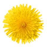 在白色隔绝的黄色蒲公英花。蒲公英officinale。 免版税库存图片