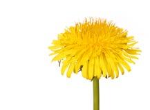 在白色隔绝的黄色蒲公英花。蒲公英officinale。 免版税库存照片