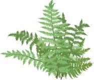在白色隔绝的绿色蕨灌木 免版税库存照片