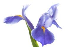 在白色隔绝的紫色虹膜 免版税图库摄影