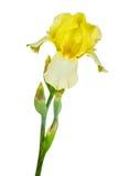 在白色隔绝的黄色虹膜 免版税库存照片