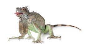 在白色隔绝的绿色鬣鳞蜥 图库摄影