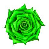 在白色隔绝的绿蔷薇花 免版税库存照片