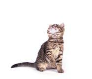在白色隔绝的画象猫 免版税库存照片