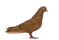 在白色隔绝的翻转者比利时鸽子的侧视图 免版税库存图片