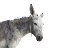 在白色隔绝的驴头 免版税库存图片