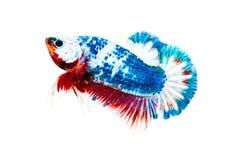 在白色隔绝的Betta鱼 免版税库存图片