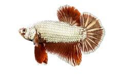 在白色隔绝的Betta鱼 图库摄影