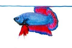在白色隔绝的Betta鱼 免版税库存照片
