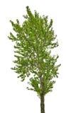 在白色隔绝的Grenn白杨树 免版税图库摄影