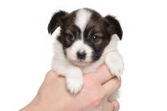 在白色隔绝的Papillon小狗 免版税库存图片