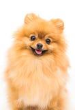 在白色隔绝的Pomeranian狗 免版税库存照片