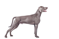 在白色隔绝的Weimaraner狗 图库摄影