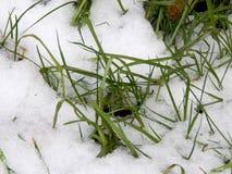 在白色雪下的绿草 免版税库存照片