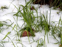 在白色雪下的绿草 图库摄影