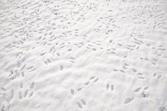 在白色雪原的兔子脚印 库存图片