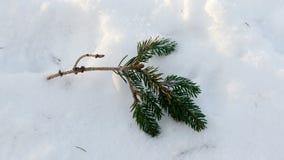 在白色雪的冷杉分支 库存照片