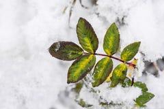 在白色雪的冻石南木在一个冬天早晨 库存图片