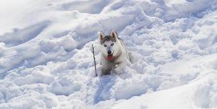 在白色雪的多壳的狗 免版税库存图片