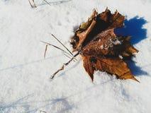 在白色雪的枫叶 免版税库存照片