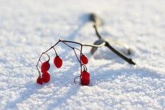 在白色雪的红色莓果 库存图片
