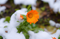 在白色雪的美丽的橙色花 免版税库存图片