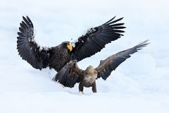 在白色雪的老鹰战斗 野生生物行动从自然的行为场面 与鱼的老鹰飞行 美丽的Steller ` s海鹰, Ha 免版税图库摄影