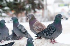 在白色雪的鸽子在城市 免版税库存照片