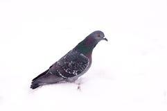 在白色雪的鸽子在城市 免版税库存图片